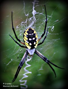 Macro of Yellow Argiope Spider Spinning Her Signature ZigZag Web  By Maureen McDonald