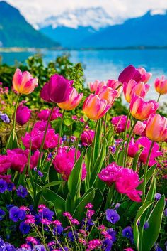Spring on Lake Geneva. 10 Things To Do in Montreux, Switzerland: beautiful pink, red, purple tulips, flowers Purple Tulips, Tulips Flowers, Flowers Nature, Flowers Garden, Wild Flowers, Red Purple, Spring Scenery, Spring Nature, Beautiful Nature Spring