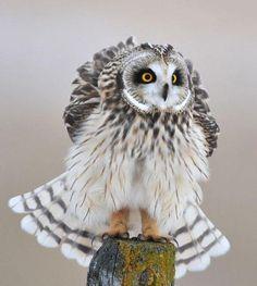 Short eared owl Beautiful Owl, Animals Beautiful, Cute Animals, Beautiful Places, Owl Photos, Owl Pictures, Owl Bird, Pet Birds, Birds 2
