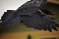 Oregon Coast Crow: Shoulder Height by russell.tomlin, via Flickr
