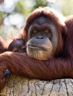 Mama and baby orangutan  by D200-PAUL