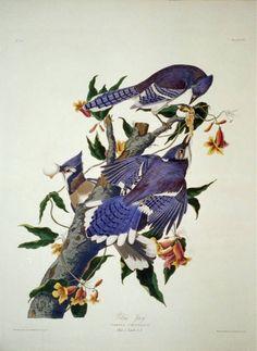 Blue jay; (#62)