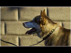"Siberian Husky on the walk. Looking good in ""Twice as Nice"" Leather Dog Collar Twice As Nice, Leather Dog Collars, Husky, Pup, Corgi, Walking, Animals, Corgis, Animales"