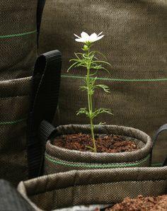 Bacsac - fleur en croissance