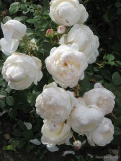David Austin Roses 82