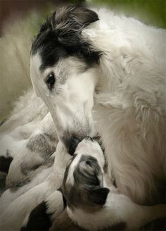 Beautiful  Russian wolfhound and her pups!!!