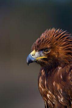 the amazing golden eagle