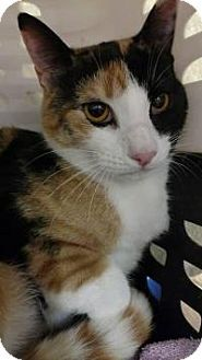 Bensalem, PA - Domestic Shorthair. Meet Patches, a cat for adoption. http://www.adoptapet.com/pet/15924518-bensalem-pennsylvania-cat