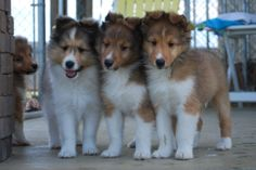 BellaRose Shelties. Where we going?