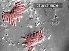 ▶ cell division on contrast microscope - YouTube