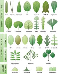 Trees And Shrubs, Trees To Plant, Plant Leaves, Tree Leaves, Leaf Identification, Plant Guide, Plant Science, Unique Trees, Cactus Plants
