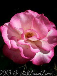 Rosa  'Handel'