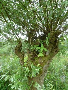 Brabantse Biesbosch wilg