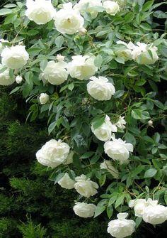 sementes de rosa meteor shower   Produto: Sementes de Rosa Trepadeira na cor Branca Importada