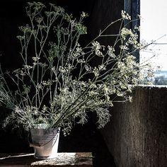 Wild fennel.