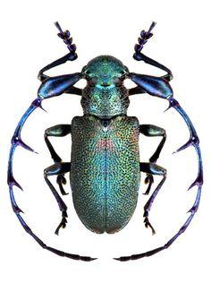 gorgeous beetle