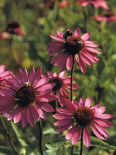Årets perenn 98. Röd solhatt magnus. Juli-sept. #Sol #Fjärilar meterhög. Limegula blommor är ett elegant sällskap till brunröda 'Magnus'. Använd t ex limefärgat höstöga (Coreopsis verticillata 'Moonbeam'), höstgullris (Solidago 'Citronella') och jättedaggkåpa (Alchemilla mollis). Luftiga prydnadsgräs lättar upp och ger en vildare prägel.