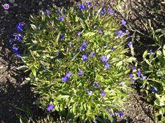 Nuottaruoho, Lobelia dortmanna (Dortmann's cardinalflower[1] or water lobelia) is an aquatic stoloniferous herbaceous perennial aquatic plant - LuontoPortti
