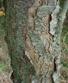 Wild Black Cherry bark Black Cherry Tree, Garden Ideas, Families, Herbs, Cottage, Health, Flowers, Plants, Health Care