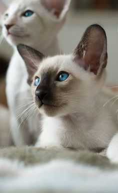 Today, let us go through a step-by-step guide on how best can you bond with your Siamese cat & This are most exciting pets you can have in the cat family. Cute Kittens, Siamese Kittens, Cats And Kittens, Tabby Cats, Bengal Cats, Cool Cats, I Love Cats, Crazy Cats, Pretty Cats