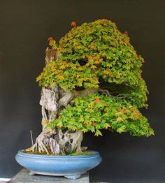 Acer by Junichiro Tanaka from Japan. Approximate age: 70 years Height: 65 cm. Photo: Juan Andrade. Added by Gustavo Celayes
