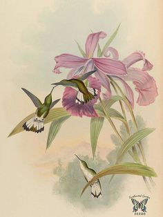 Large-flowered Sobralia. Sobralia macrantha. Native to Mexico and Central America. A monograph of the Trochilidæ, or family of humming-birds, vol. (1861) [J. Gould & H.C. Richter]