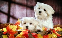 Schöner Schnee-Weiß-Foto Hunderasse Malteser.