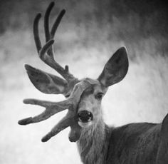 Proven Not scary. Broken antler, but another will grow in it's place. He's beautiful Glory to God nonetheless. Whitetail Deer Pictures, Deer Photos, Funny Deer Pictures, Big Deer, Black Deer, Nature Animals, Animals And Pets, Cute Animals, Mule Deer Hunting