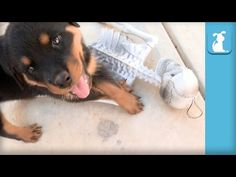 CUTEST Rottweiler Puppies VS. Evil Skeleton - Puppy Love - http://showatchall.com/animal/cutest-rottweiler-puppies-vs-evil-skeleton-puppy-love/
