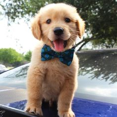 Golden Retriever Puppies – 5 Things To Search For When Purchasing A Puppy Super Cute Puppies, Cute Baby Dogs, Cute Little Puppies, Cute Dogs And Puppies, Cute Little Animals, Cute Funny Animals, Doggies, Sweet Dogs, Corgi Puppies