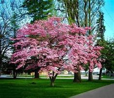 Dogwood Tree - - Pink Dogwood, fast growing