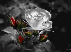 rosa della purezza
