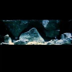 "One of our custom made Tanganyika Cichlid project - decorated with a custom made ""F"" model non floating rock pieces Freshwater Aquarium, Aquarium Fish, Aquarium Architecture, Aquarium Backgrounds, 3d Background, Home Interior Design, Rock, Unique, Model"