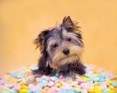 Prada (Yorkshire Terrier puppy) - Prada knows how to find the sweet spot.  (pic by Rachael Hale)
