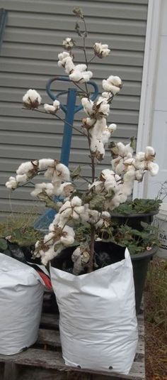 Growing Cotton In Containers