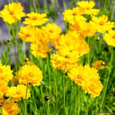 Native to North America, Lance Leaf Coreopsis is a popular perennial for meadows everywhere. Gorgeous, golden blooms illuminate the summer garden all the way into fall, creating a grand statement in almost any spot. Lance Leaf Coreopsis is deer resistant, tolerates partial shade and delights year after year. All of the seed we handle at American Meadows is non-GMO, neonicotinoid-free and guaranteed to grow. Perennial.