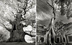 Ancient Trees – Une photographe capture les plus vieux arbres du monde (image)