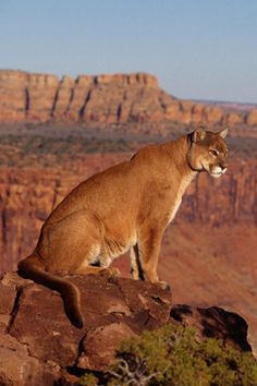 Cougars are wild and seldom seen, and were nearly hunted to extinction in the last century. Let's hope we are smarter in this century!!