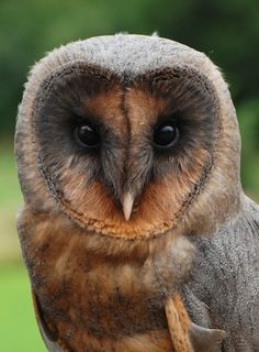 Common Barn Owl, Black