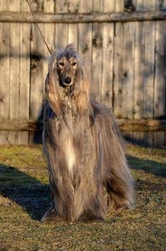 Goofy Dog, Afghan Hound, How Big Is Baby, Dog Grooming, Dog Cat, Adorable Dogs, Horses, Afghans, Cats