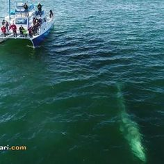 We encountered 4 Gray Whales yesterday, including this one that came over to check out our catamaran Manute'a! Thanks to @dolphinsafaridom for the great drone video.  Join us for #fun and #adventure today at 1:30 PM. Call 949-488-2828 or book online www.DolphinSafari.com  #CaptDaves #WhaleWatching #DolphinSafari #CreatingMemories #Drone #dji #GrayWhale #DanaPoint