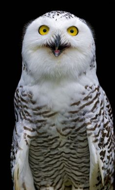 Snowy owl looking surprised (by Tambako the Jaguar)