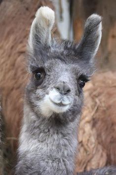 Cute Alpaca Alpacas, Cute Baby Animals, Animals And Pets, Funny Animals, Llama Pictures, Animal Pictures, Images Lama, Llama Face, Photo Animaliere