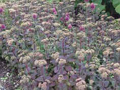 Oudolf ~ Pensthorpe Millennium Garden, Fakenham, Norfolk, UK _/\/\/\/\/\_ Sedum telephium and Allium sphaerocephalon