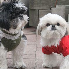 Two shih tzu friends meet on the strret the winter blues jpg