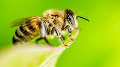 'Mensen gebruiken al bijenwas sinds de steentijd' | NU - Het laatste nieuws het eerst op NU.nl