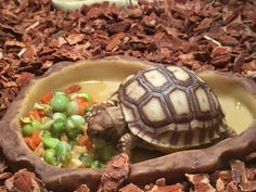 This article will tell you everything you need to know before you get your new pet Sulcata tortoise! Also referred to as African spurred tortoises, these reptiles make great pets and companions, but require a significant amount of preparation and care. Tortoise House, Tortoise Food, Tortoise Habitat, Tortoise Table, Turtle Habitat, Baby Tortoise, Cute Tortoise, Turtle Care, Pet Turtle