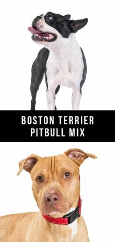 Do you know what to expect from the Boston Terrier Pitbull mix? Let's take a look at the pros and cons of this terrier breed. Terrier Breeds, Terrier Mix Dogs, Pitbull Terrier, Dog Breeds, Boston Terrier, American Bulldog Mix, American Pitbull, Purebred Dogs, Mixed Breed