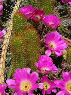 Adding a delightful dose of color to the garden in spring, lady finger cactus (Echinocereus pentalophus) is an easy-care, low-growing variety. It's native to areas of the Southwestern United States and Mexico and is hardy in Zones Bloom Where Youre Planted, Botanical Gardens, Landscaping Around Deck, Desert Landscaping, Cactus Types, Arizona Landscape, Landscaping Near Me, Desert Botanical Garden, Desert Plants