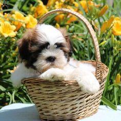Charlie, Shih Tzu Puppy #shihtzu